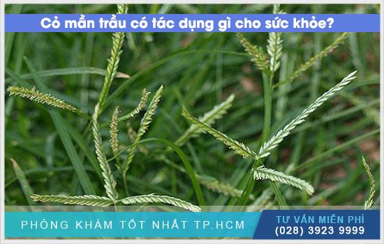 Tác dụng của cỏ mần trầu với sức khỏe